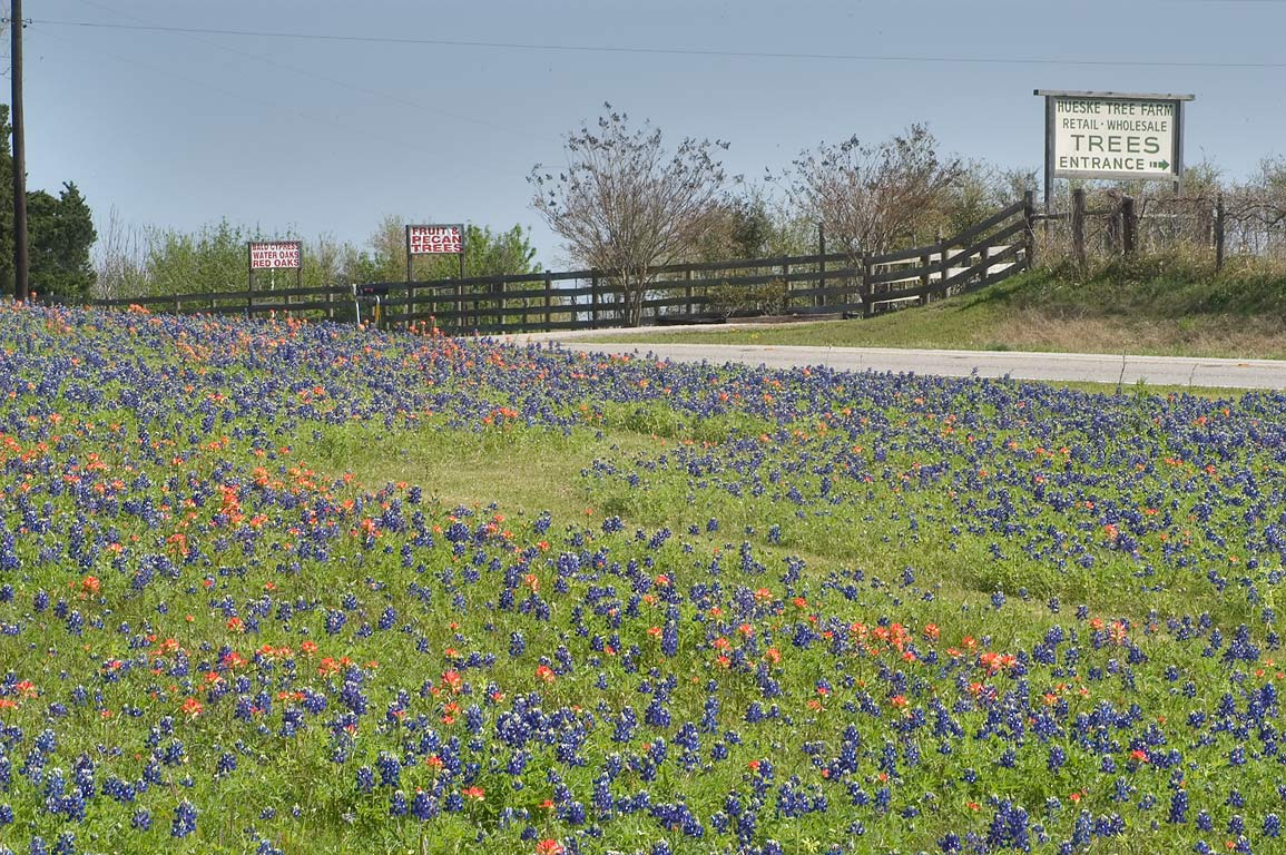 Field of bluebonnet and paintbrush near Rd. 50...Rd., south from Independence. Texas