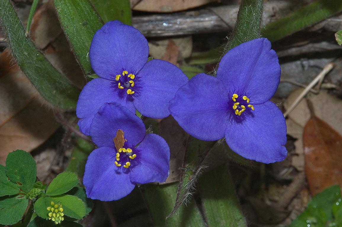 Spiderwort (tradescantia) blooming in Washington...State Historic Site. Washington, Texas