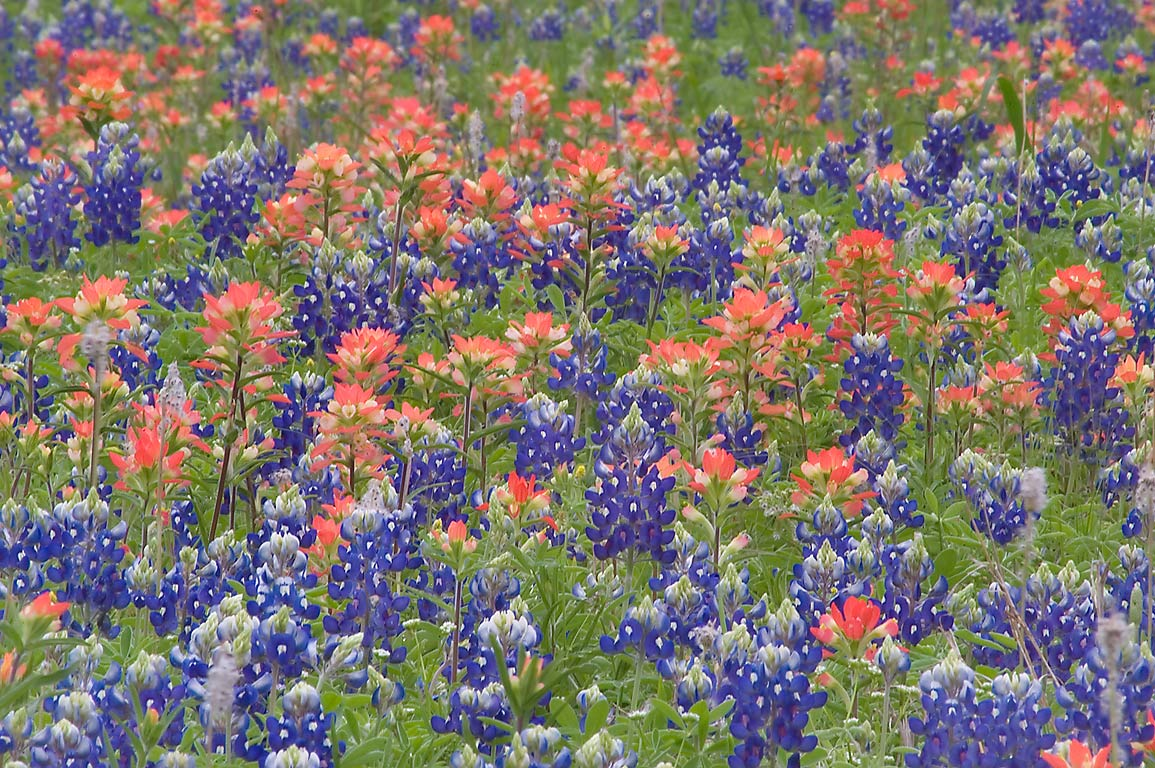 Lupin and Indian paintbrush flowers in Washington...near Loop trail. Washington, Texas