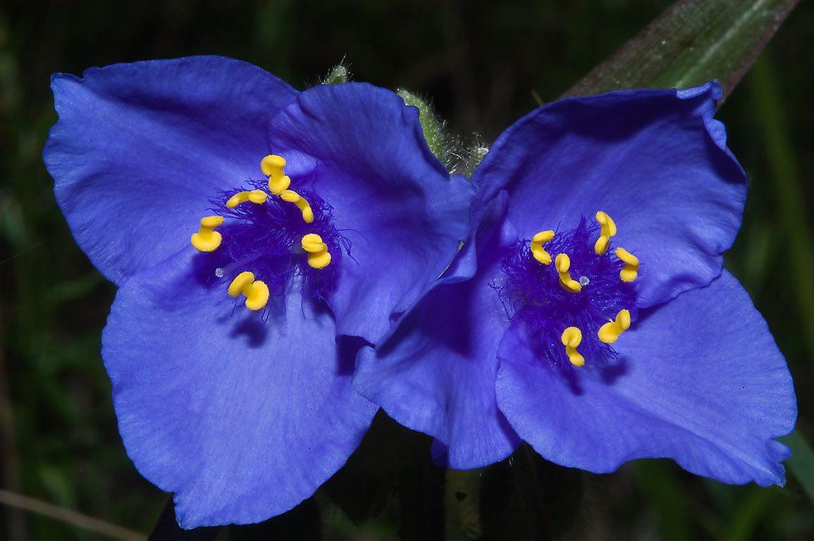 Spiderwort (tradescantia) in Lick Creek Park. College Station, Texas