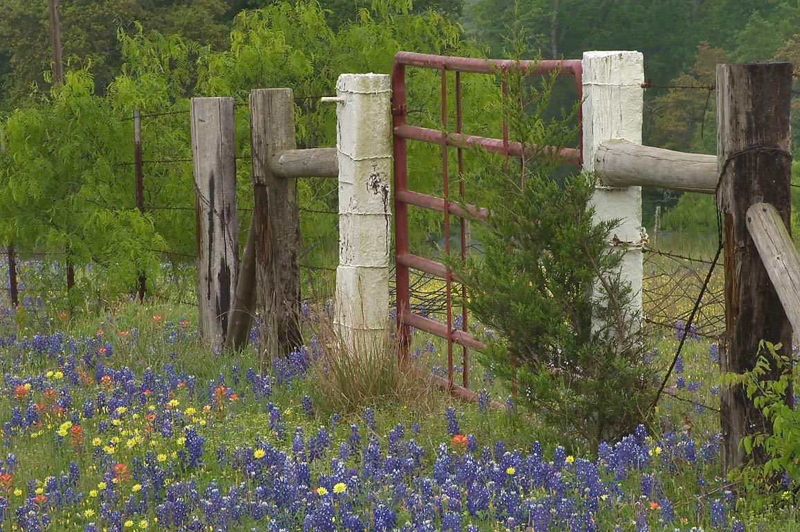 Fence with roadside bluebonnet flowers at 1505...Rd.. West from Independence, Texas