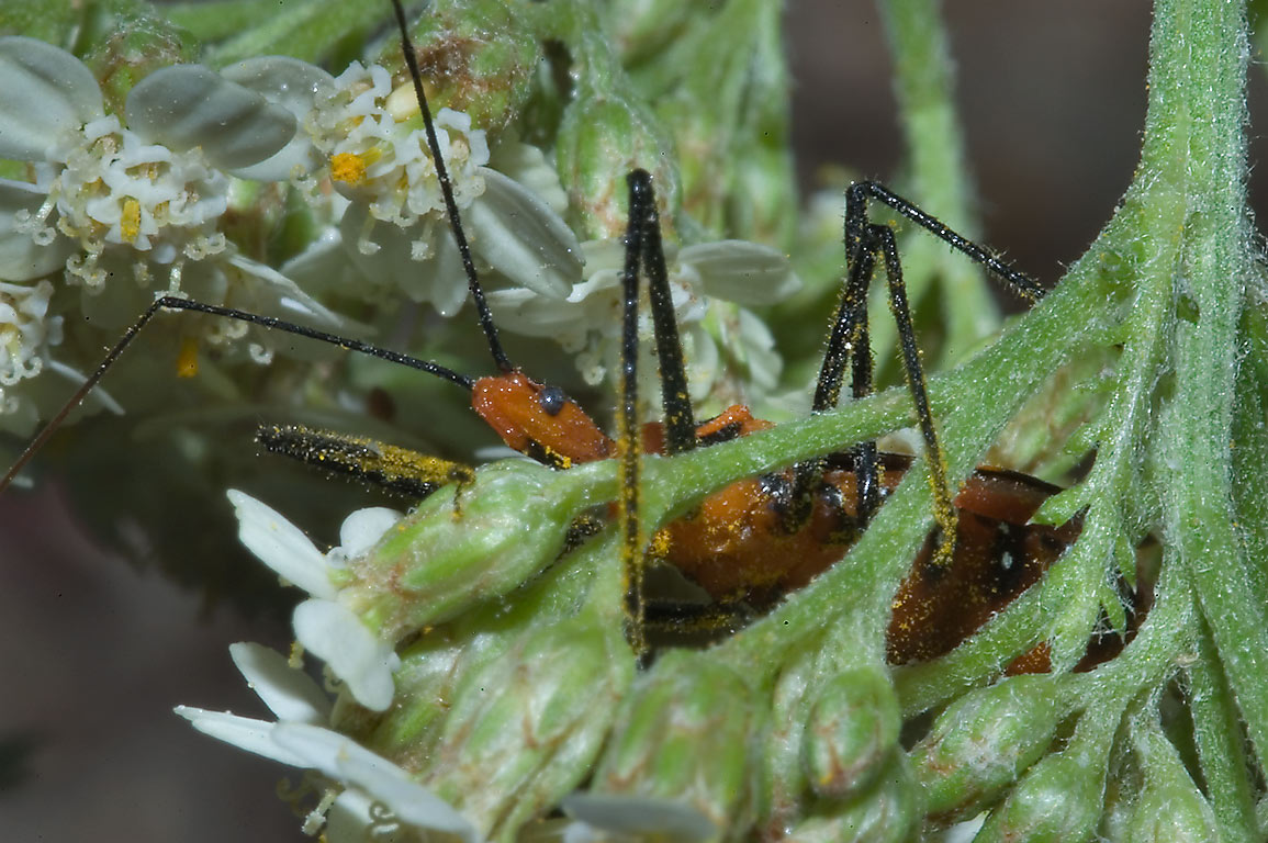 Red (milkweed) assassin bug nymph (Zelus longipes...M University. College Station, Texas