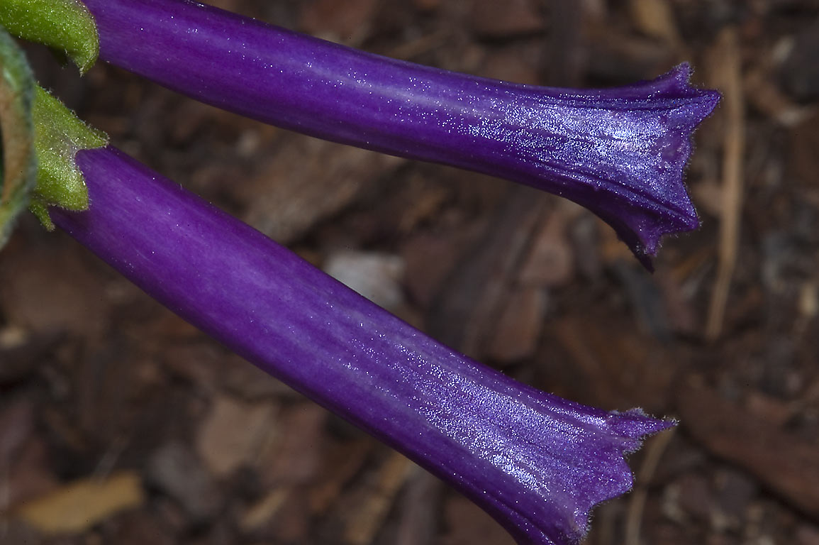 Blue trumpets of Iochroma warscewiczii (Purple...M University. College Station, Texas