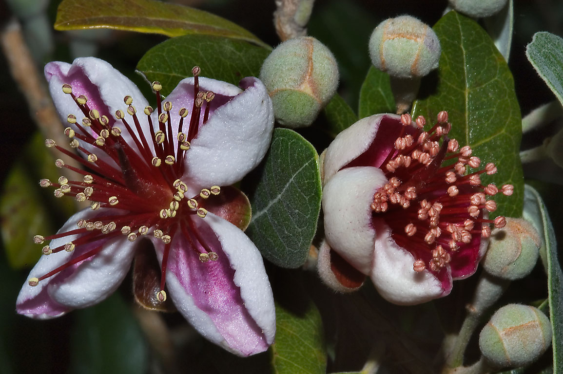 Pineapple Guava (Guavasteen, Feijoa sellowiana...M University. College Station, Texas