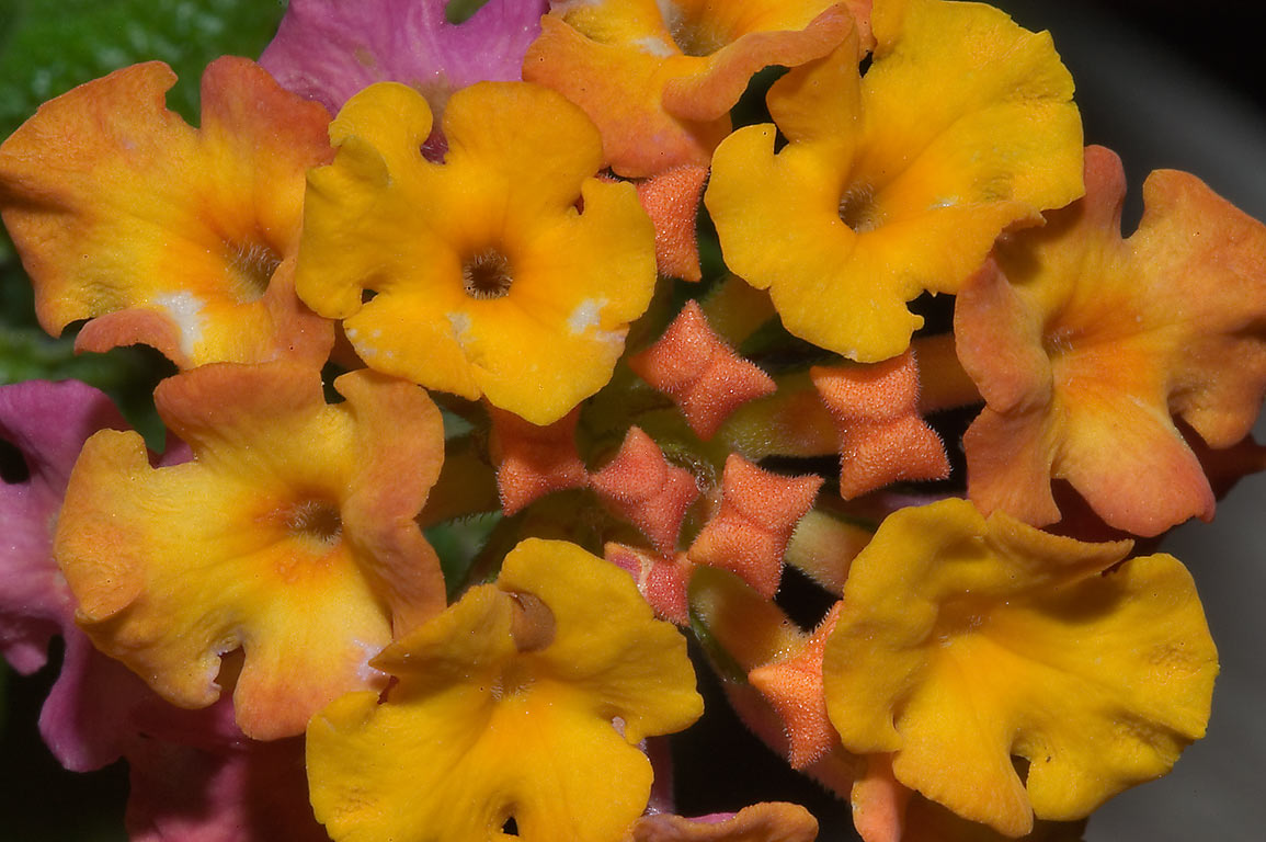 Yellow Texas lantana flowers in TAMU Holistic...M University. College Station, Texas