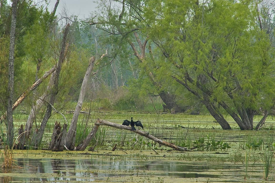 Cormorant drying wings on east side of Elm Lake...Bend State Park. Needville, Texas
