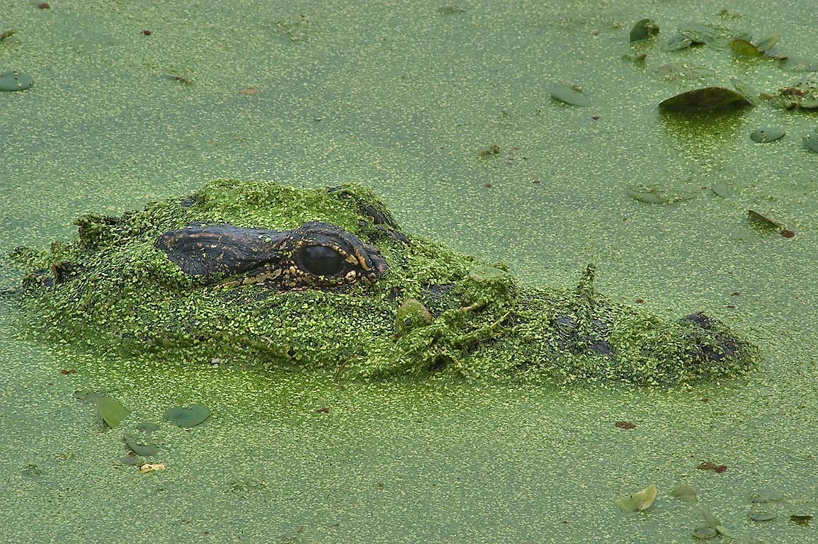 Head of an alligator in duckweed in west side of...Bend State Park. Needville, Texas