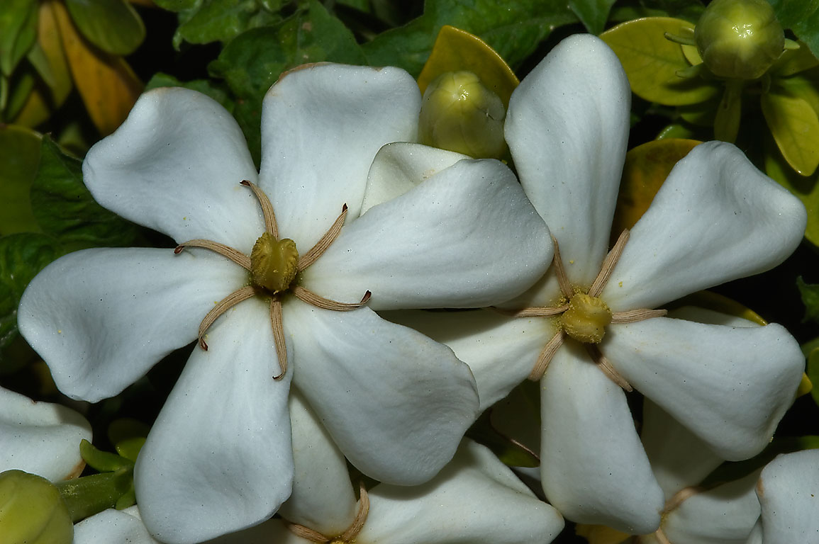 White flowers of Gardenia duruma in TAMU Holistic...M University. College Station, Texas