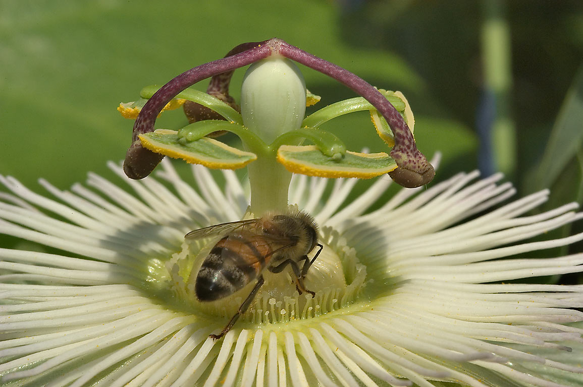 Central part of a white passiflora flower in TAMU...M University. College Station, Texas