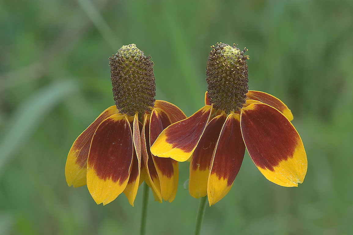 Two Mexican hat flowers (Ratibida columnifera) in...State Historic Site. Washington, Texas