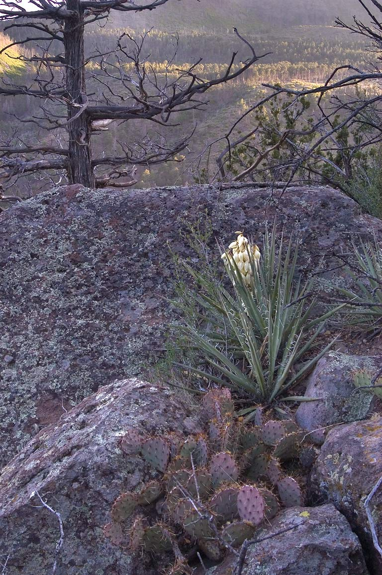 Yucca on northern rim of Capulin Canyon at...Monument. New Mexico, near Los Alamos