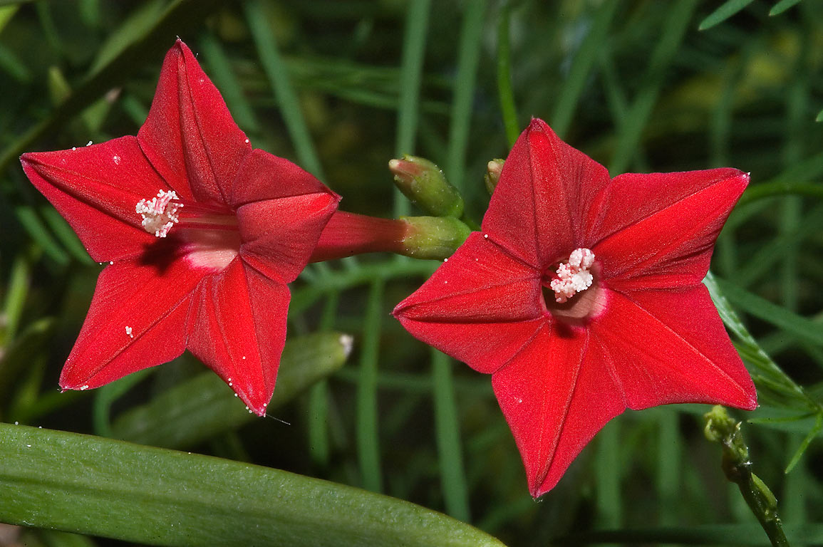 Cypress vine (Ipomoea quamoclit) in TAMU...M University. College Station, Texas