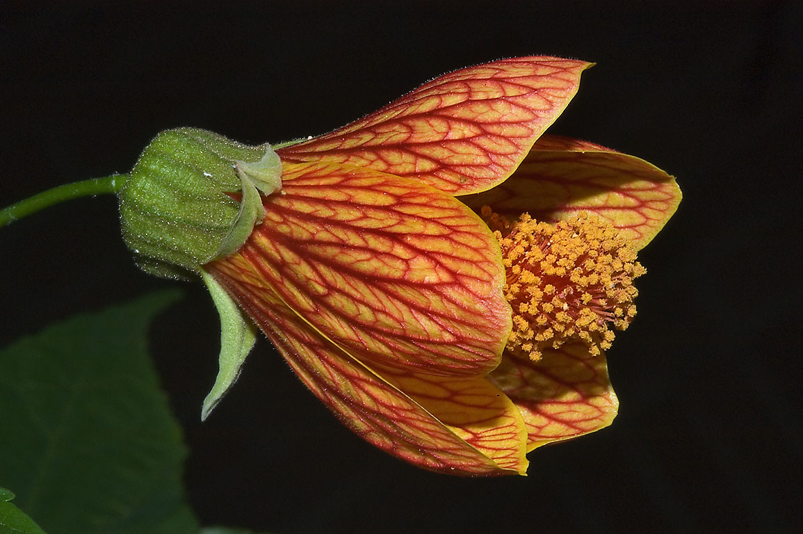 Chinese lantern (Abutilon pictum Thompsonii...M University. College Station, Texas