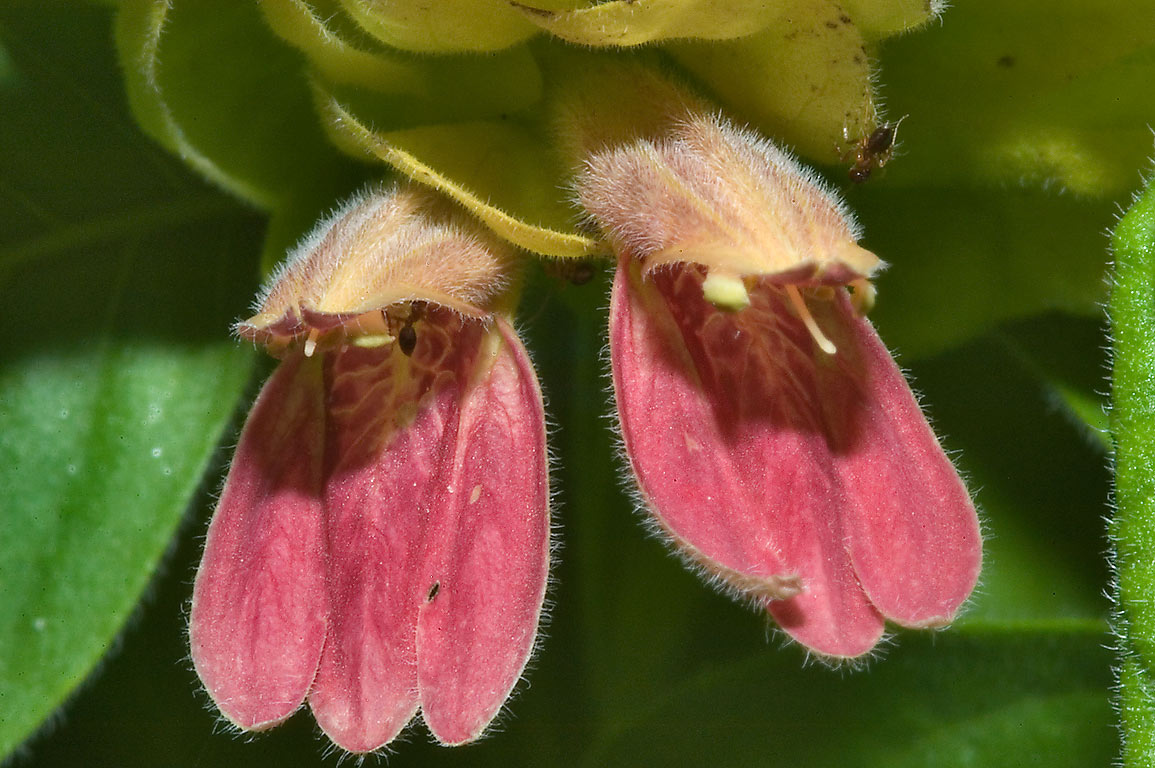 Shrimp plant (Justicia brandegeeana, Beloperone...M University. College Station, Texas