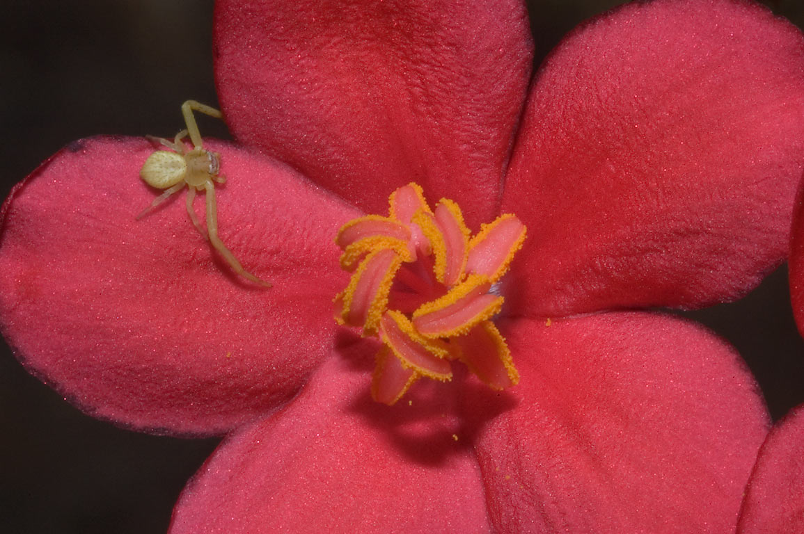 Flower of Jatropha integerrima (peregrina) with a...M University. College Station, Texas
