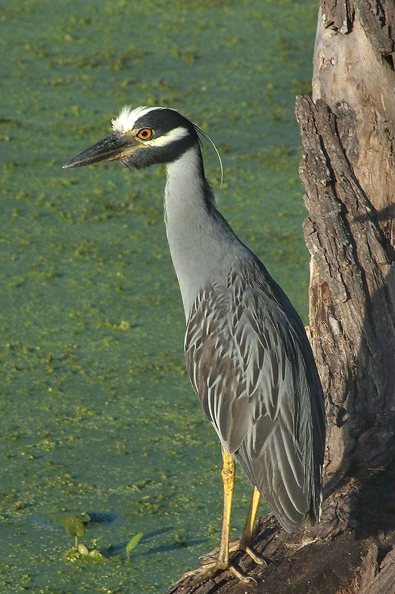 Yellow-crowned night-heron marsh bird on north...Bend State Park. Needville, Texas