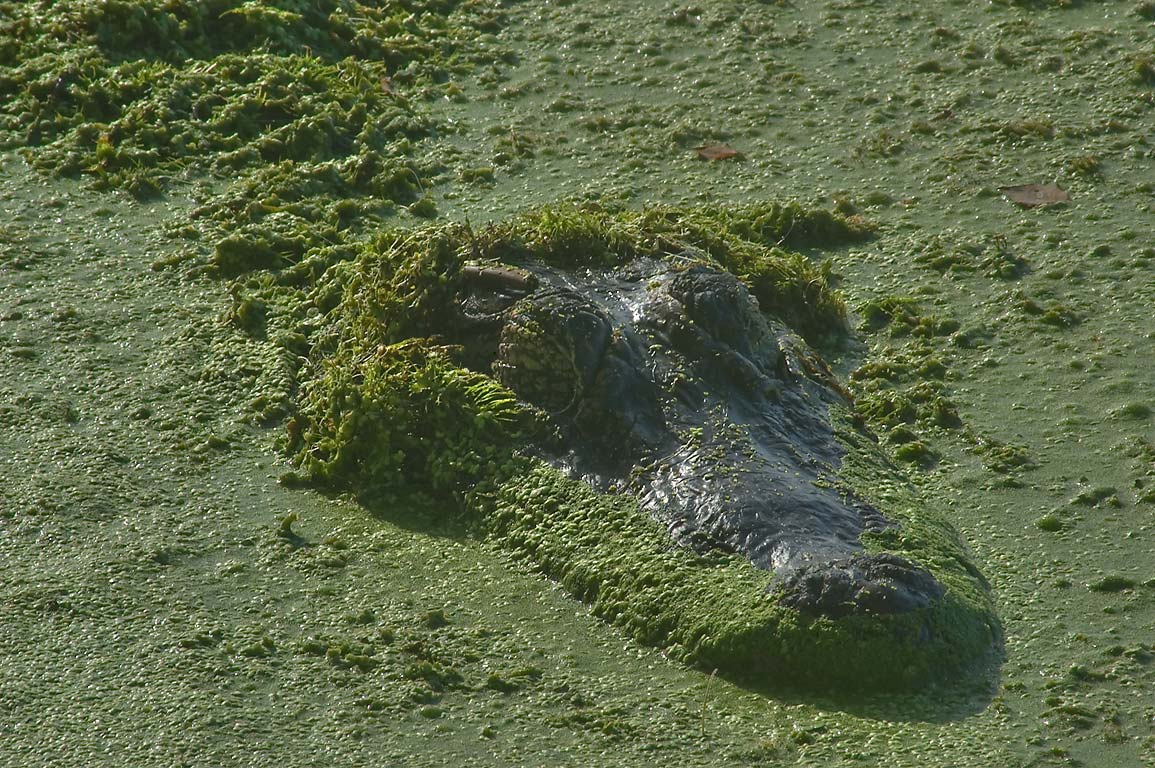 Head of alligator in duckweed on west side of Elm...Bend State Park. Needville, Texas