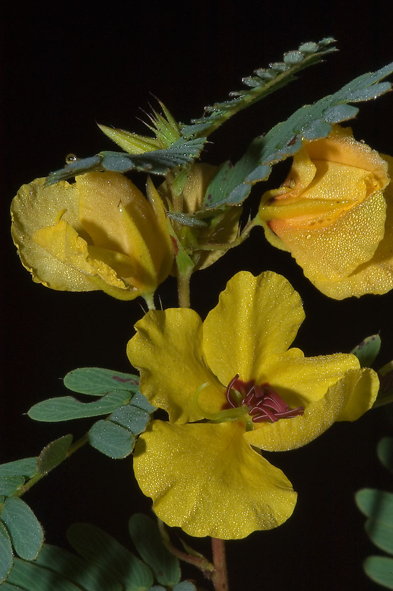 Partridge pea (Cassia fasciculata) flowers with...Creek Park. College Station, Texas