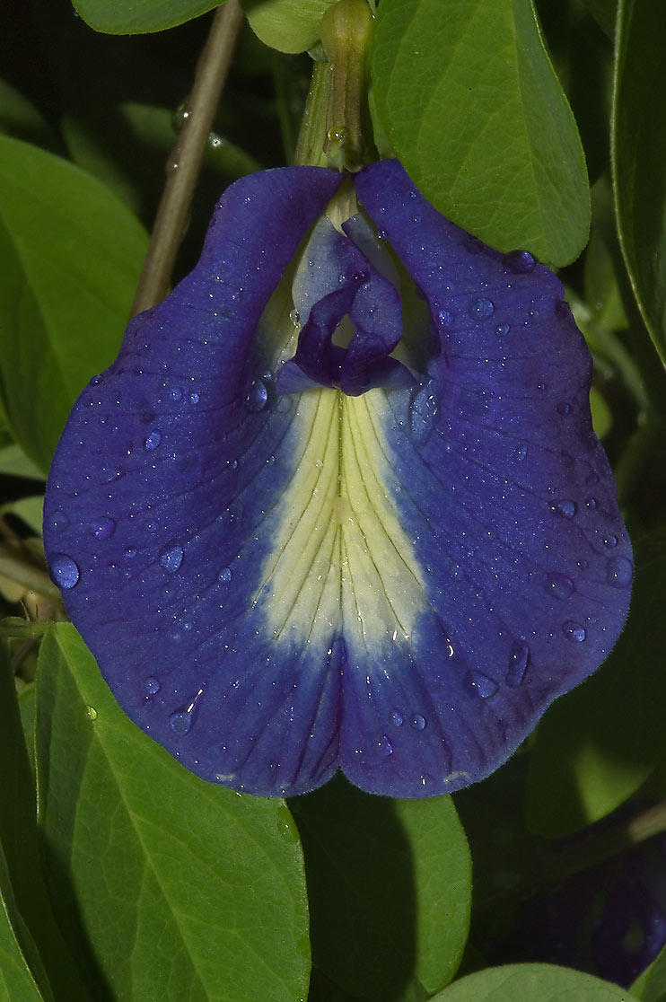Blue butterfly pea vine (Clitoria ternatea) in...M University. College Station, Texas