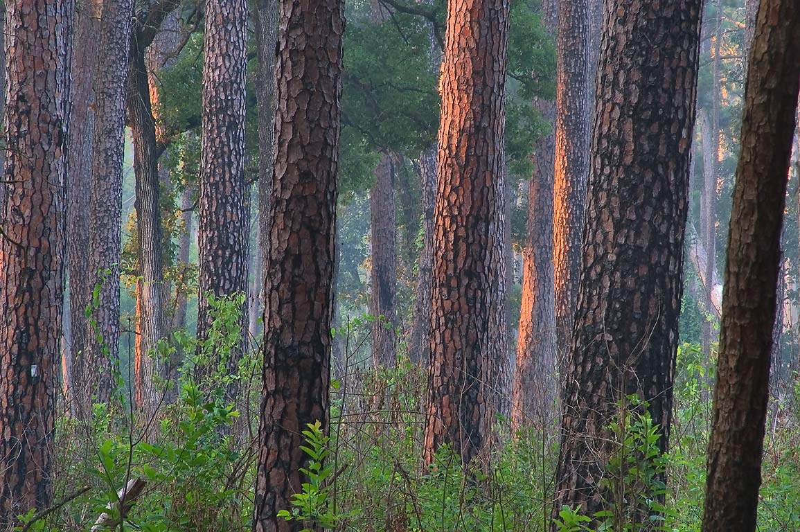 Pine trees at sunrise from Little Lake Creek Loop...National Forest. Richards, Texas