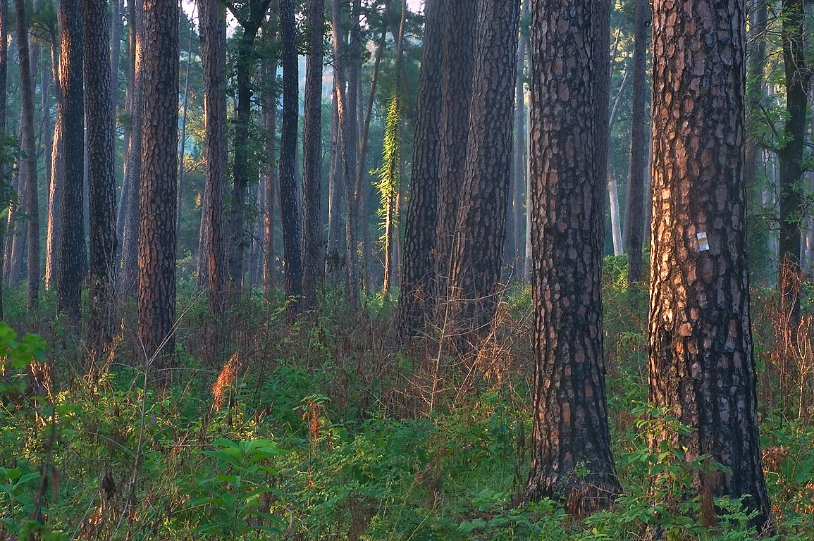 Burned pines from Little Lake Creek Loop Trail in...National Forest. Richards, Texas