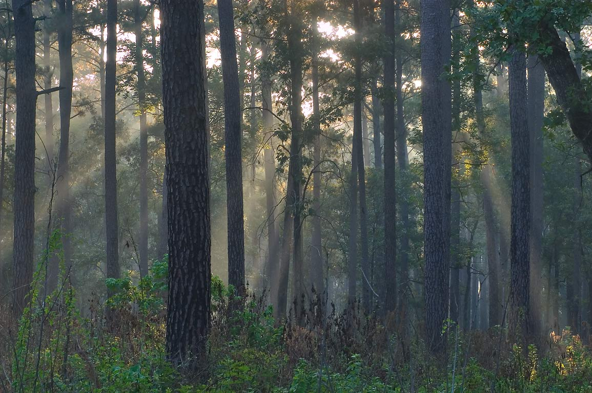 Sun through mist from Little Lake Creek Loop...National Forest. Richards, Texas