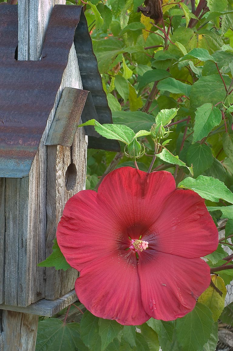 Red flower of rose mallow in TAMU Horticultural...M University. College Station, Texas