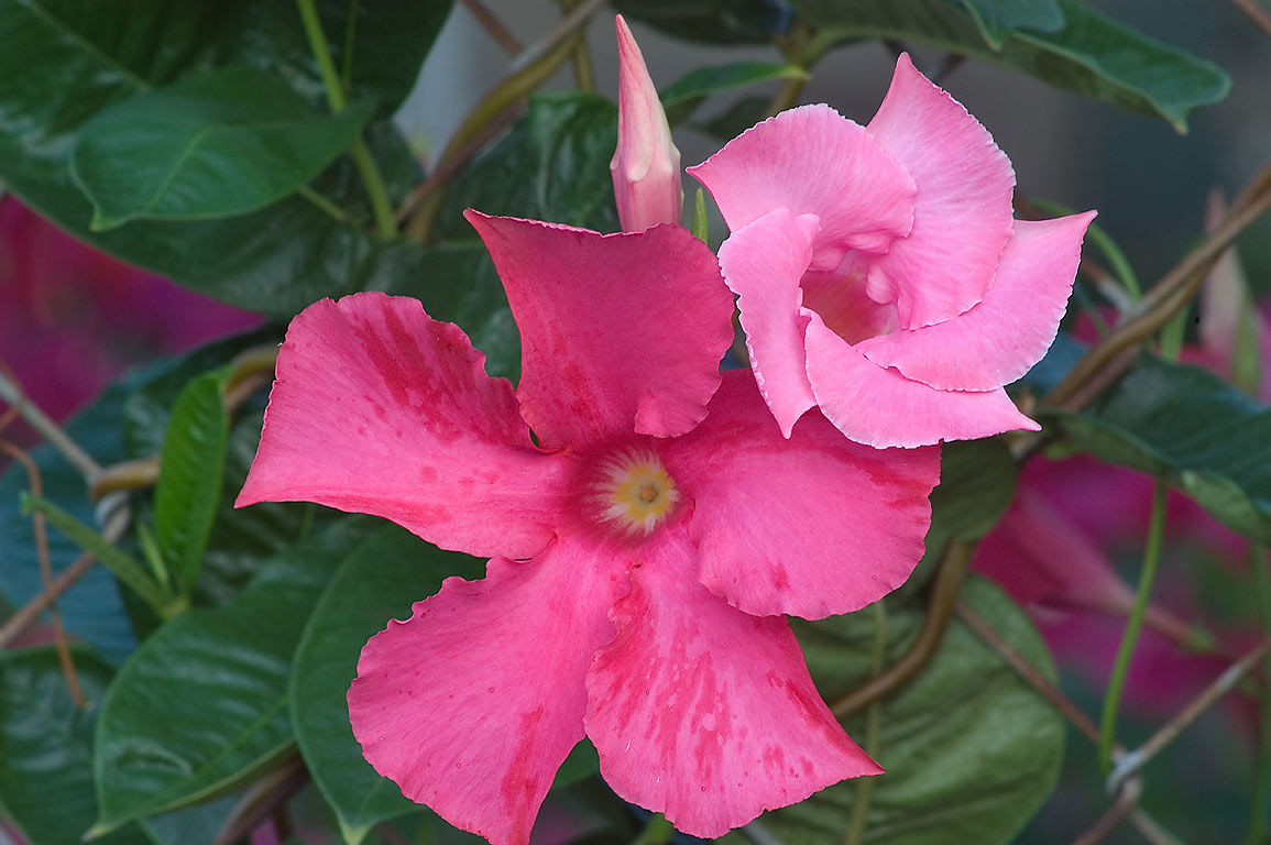 Pink flowers of Dipladenia sanderi (Mandevilla...M University. College Station, Texas