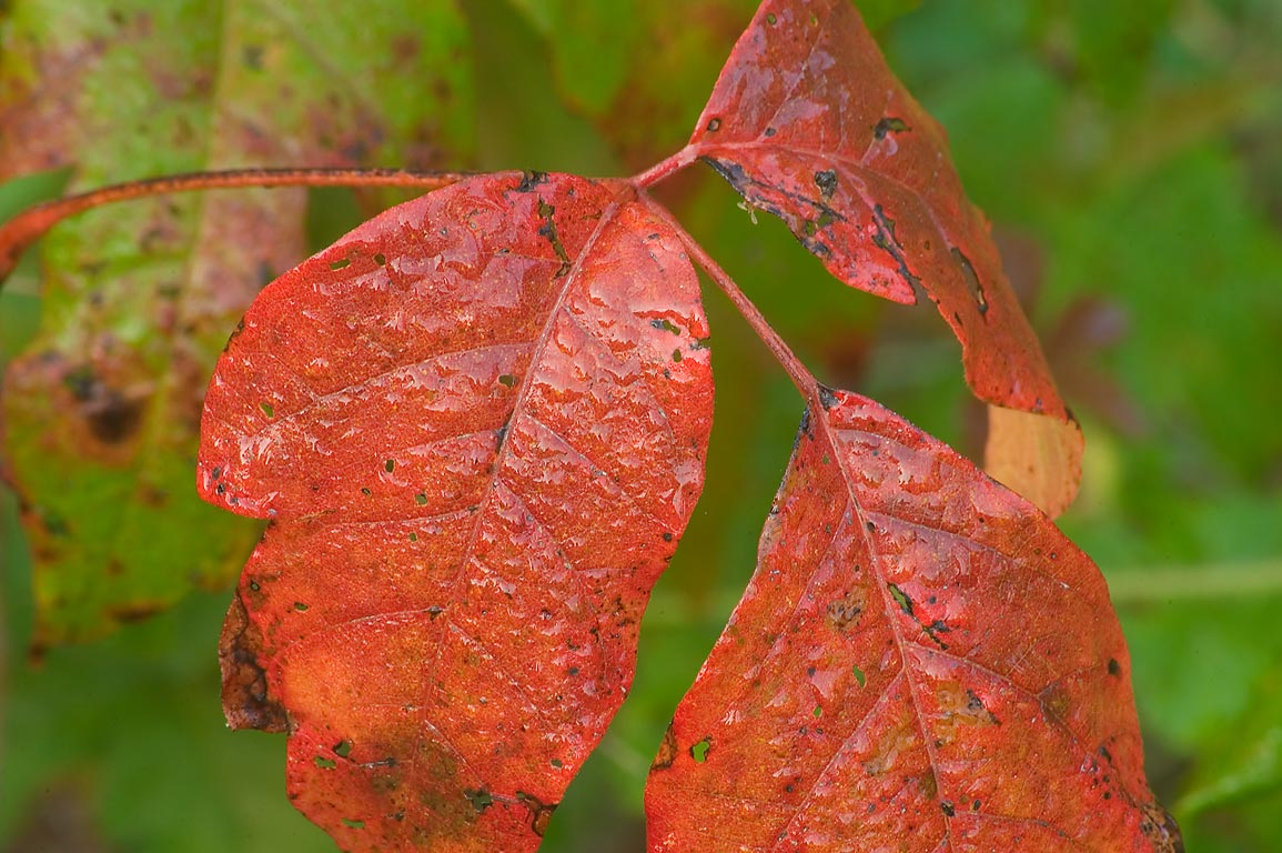 Early fall color of poison ivy in Washington-on...State Historic Site. Washington, Texas