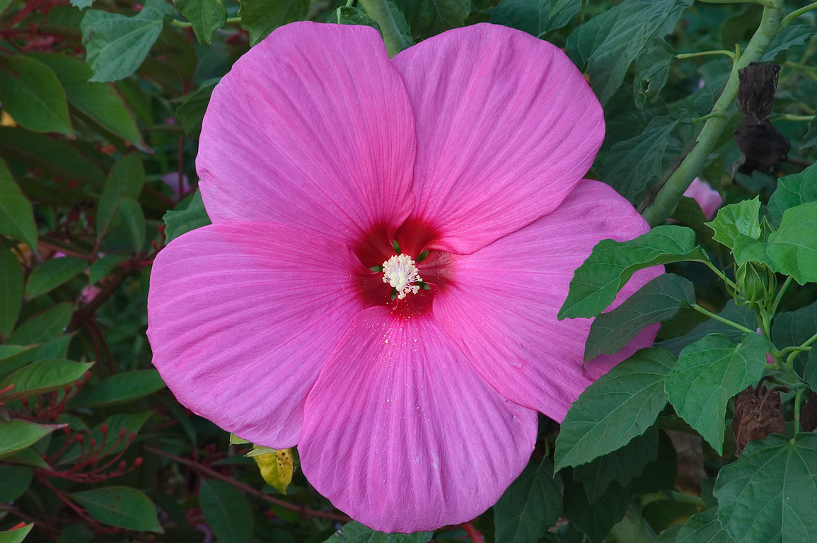 Rose mallow in TAMU Horticultural Gardens in...M University. College Station, Texas