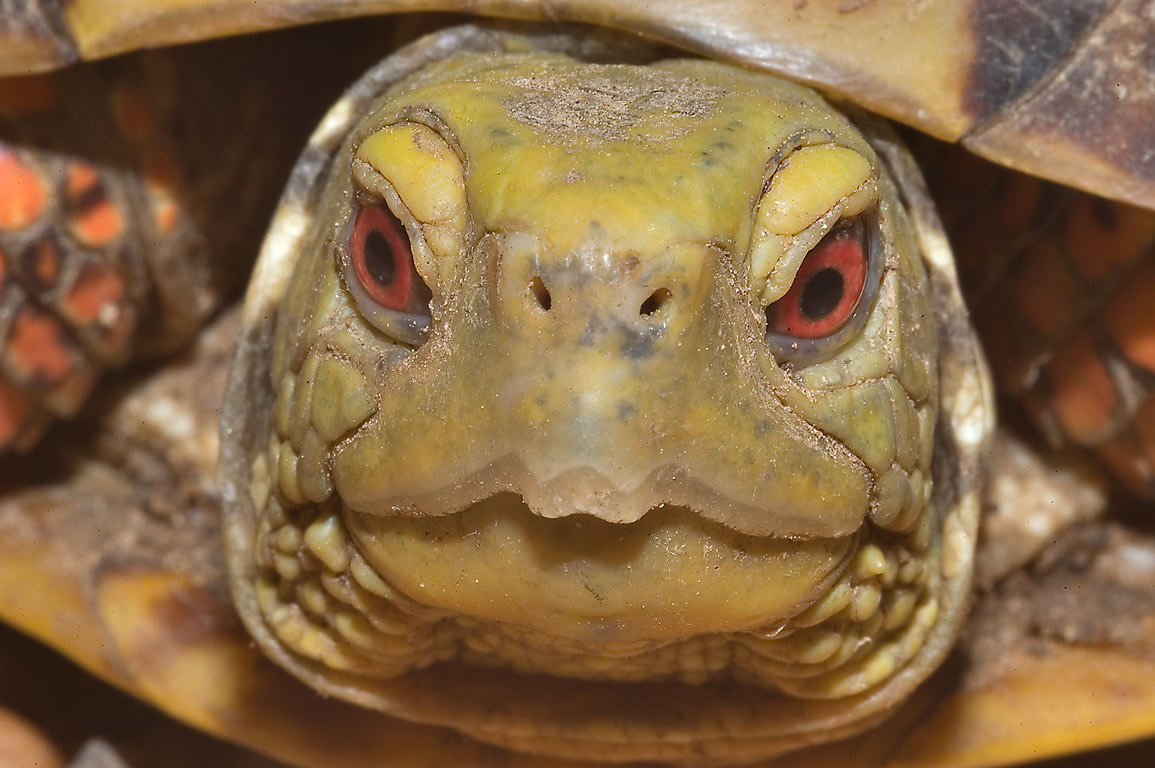 Mug shot of a red-eyed box turtle crossing Rd. 259, west from Calvert. Texas