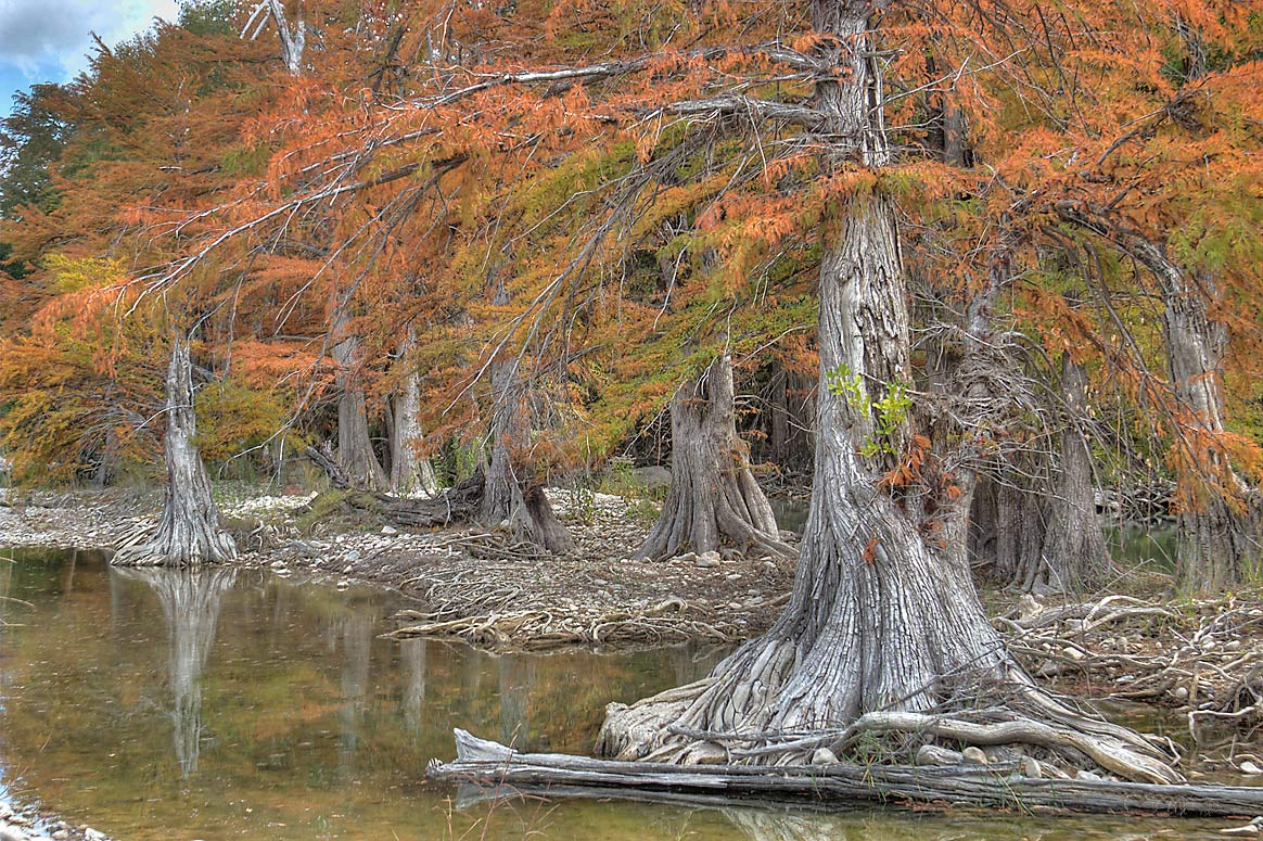 Cypresses in north area of Pedernales Falls State Park. Johnson City, Texas