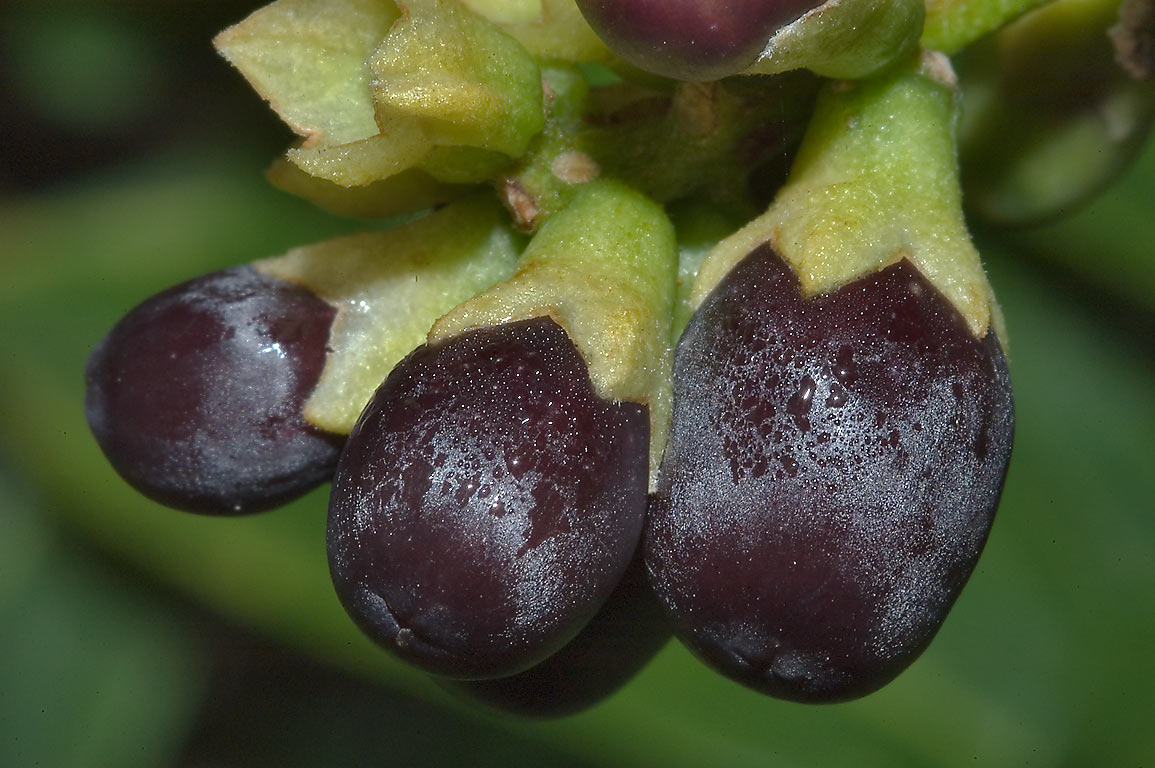 Fruits of Cestrum aurantiacum (Hediondillo, Huele...M University. College Station, Texas
