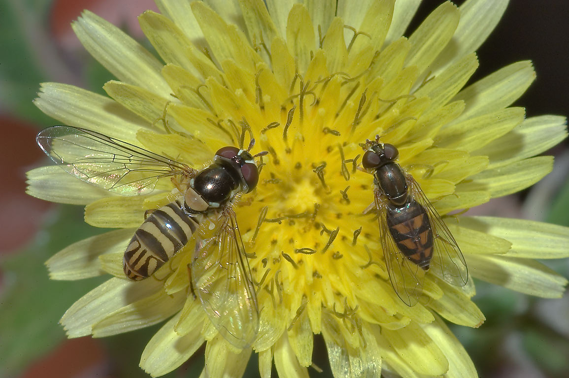 Common dandelion with syrphid flies in TAMU...M University. College Station, Texas