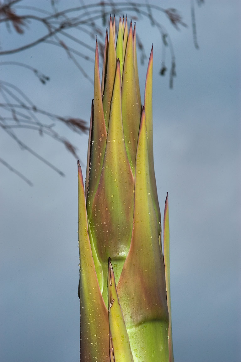 Emerging agave flower in TAMU Horticultural...M University. College Station, Texas