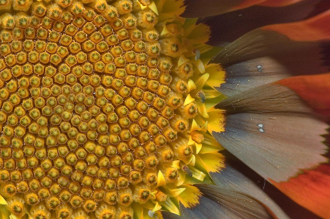 Close up of gazania flower in TAMU Holistic...M University. College Station, Texas