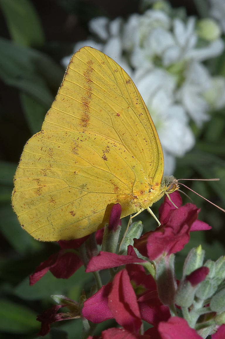 Yellow butterfly on maroon flowers in TAMU...M University. College Station, Texas