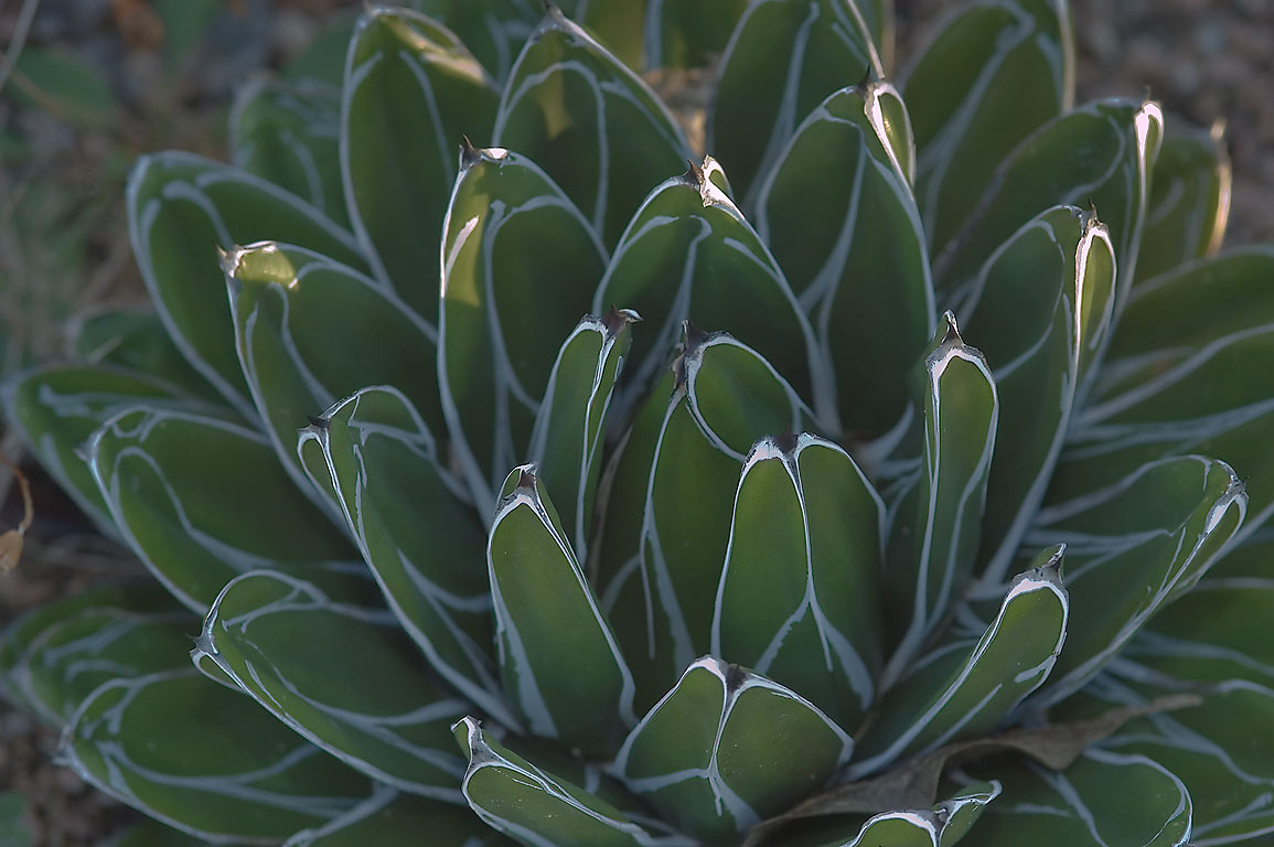 Queen Victoria Agave (Agave victoriae-reginae...M University. College Station, Texas