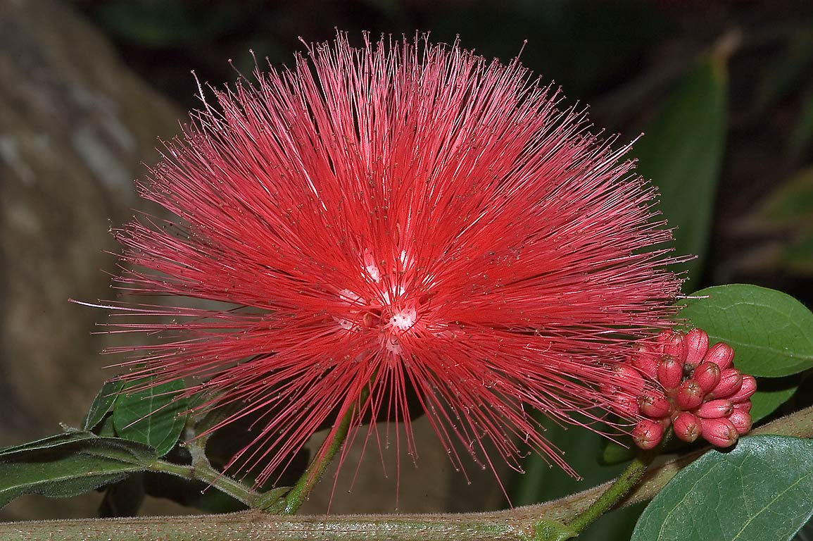 Red powder puff flower of Calliandra in Mercer...Gardens. Humble (Houston area), Texas