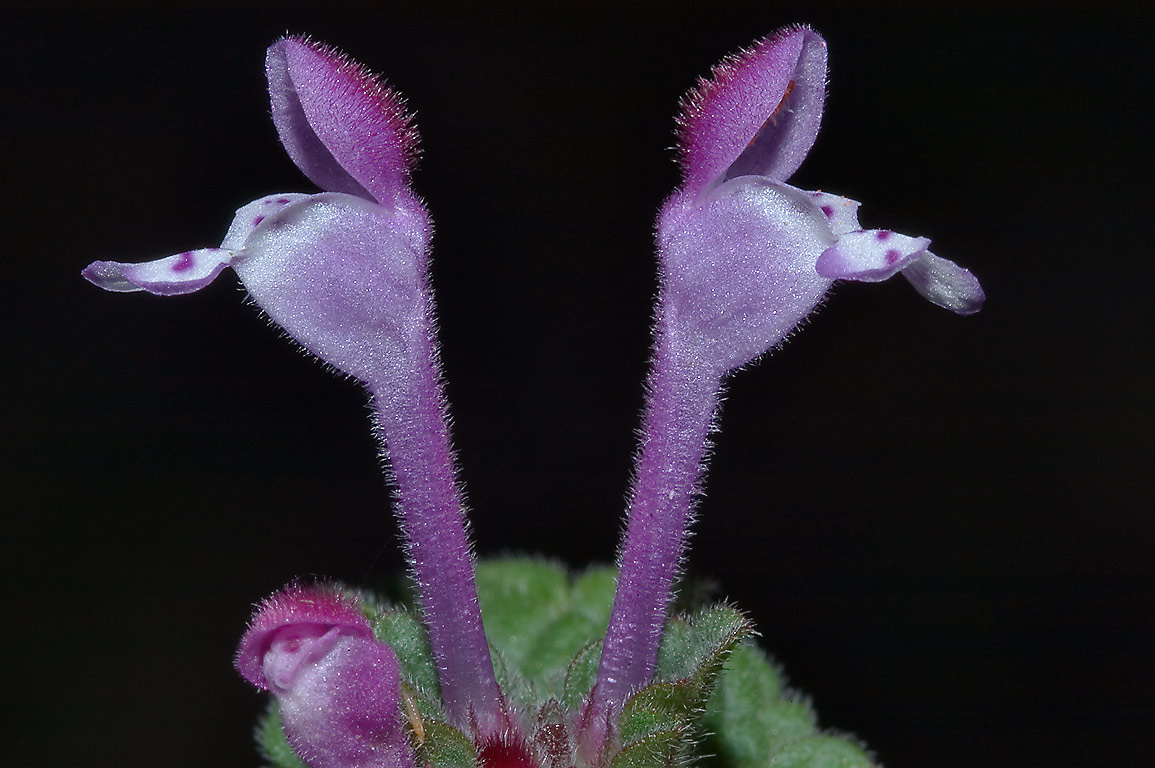 Purple tubular flowers of clasping henbit (henbit...M University. College Station, Texas