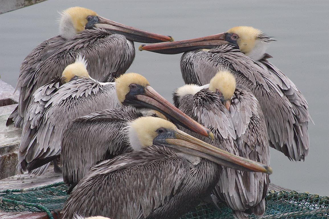 Brown pelicans on Pier 21. Galveston, Texas