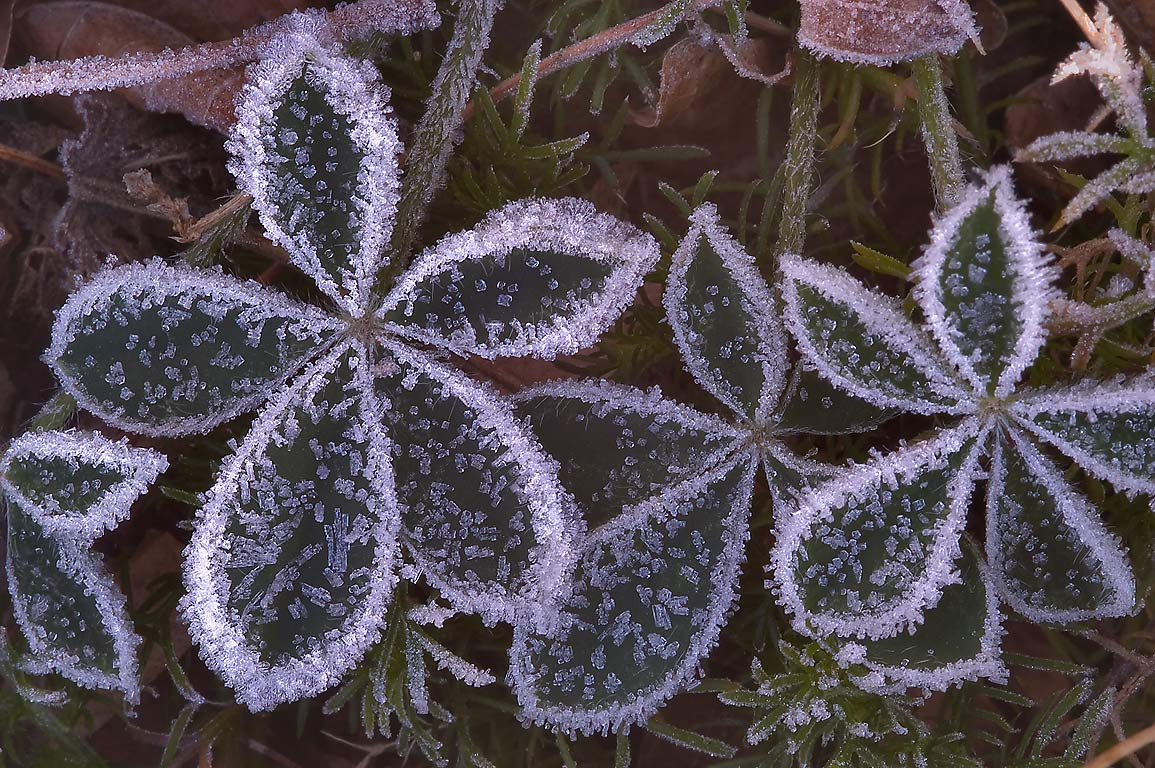 Morning freeze on bluebonnet leaves in TAMU...M University. College Station, Texas