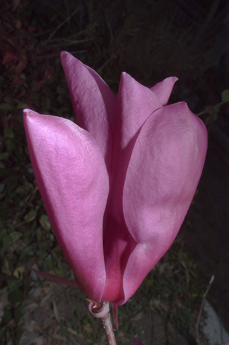Tulip-shaped purple flower of Japanese magnolia...M University. College Station, Texas