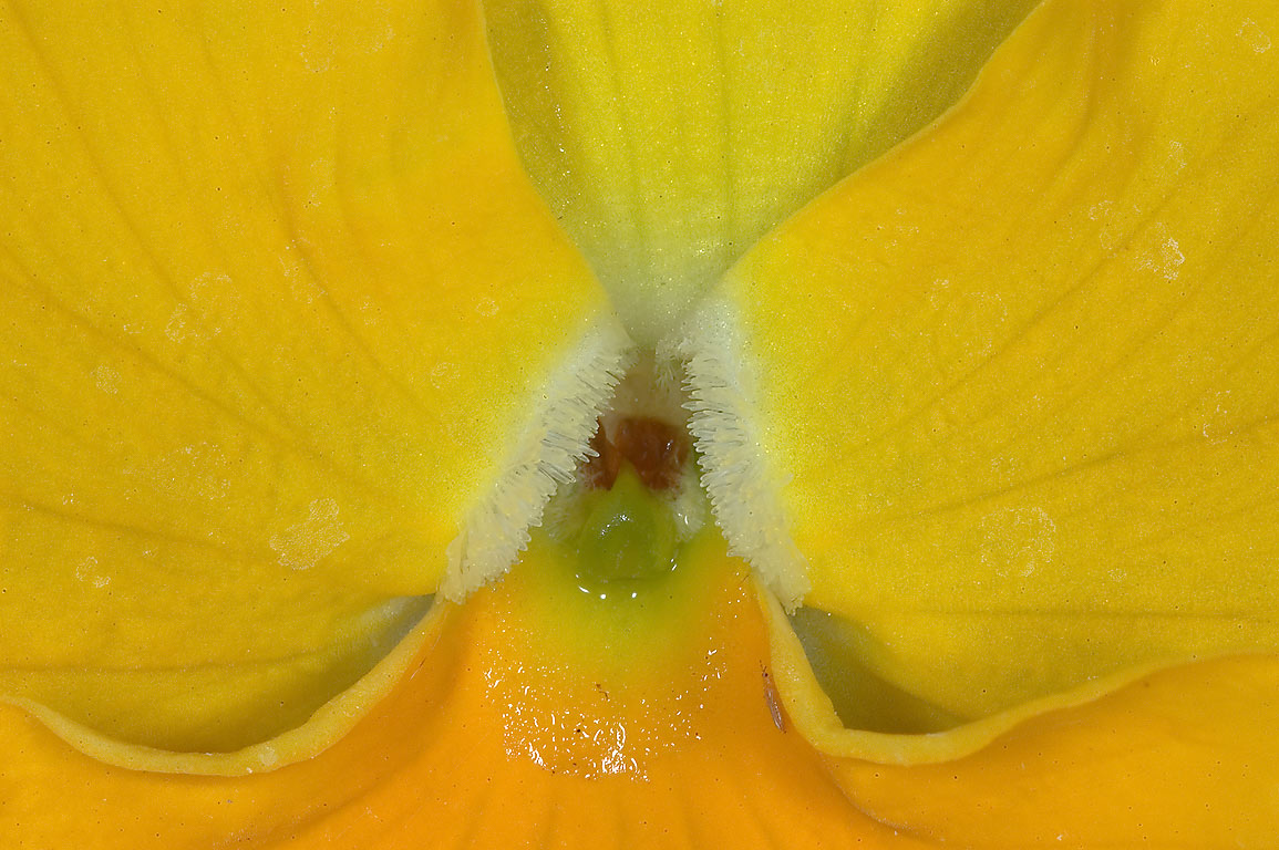 Close up of yellow violet flower in TAMU...M University. College Station, Texas
