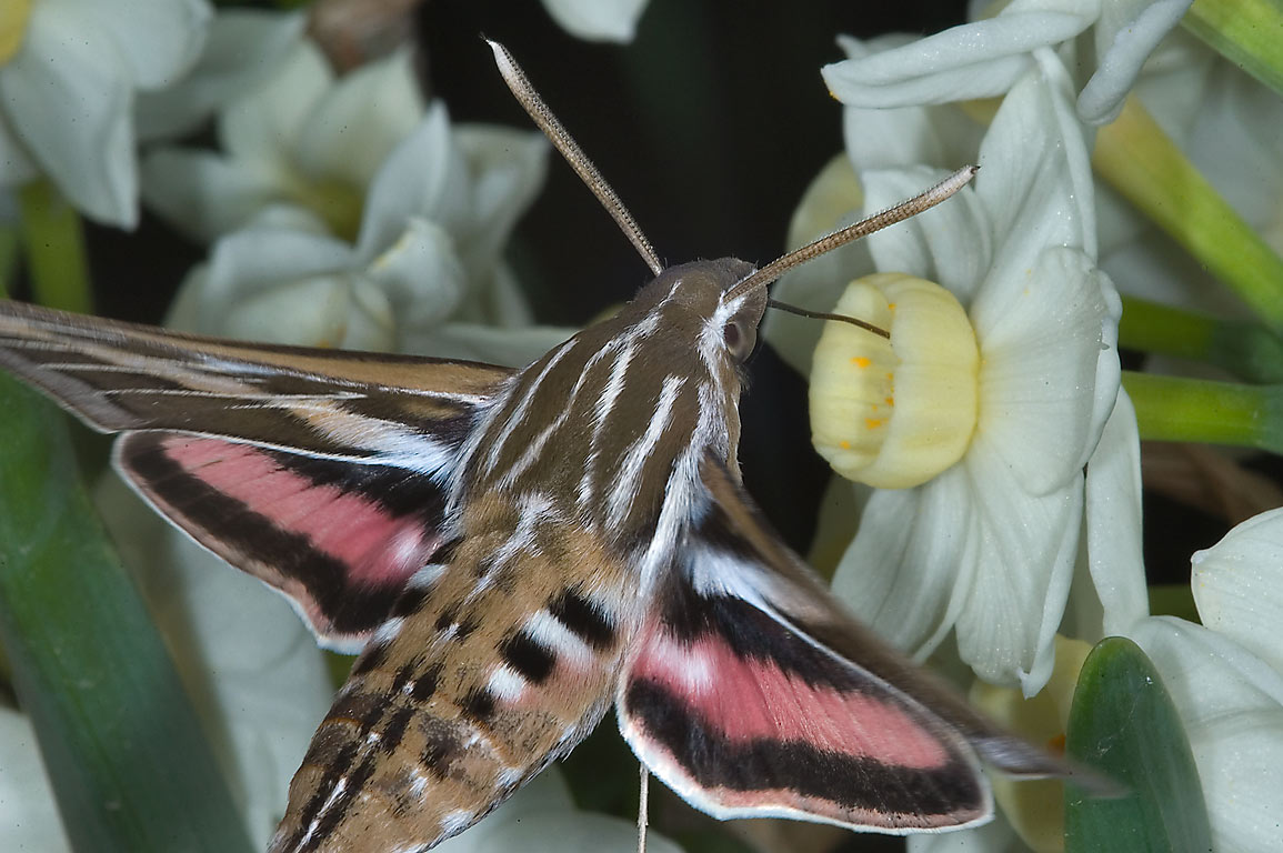 White-lined sphinx (Hummingbird moth, Hyles...M University. College Station, Texas