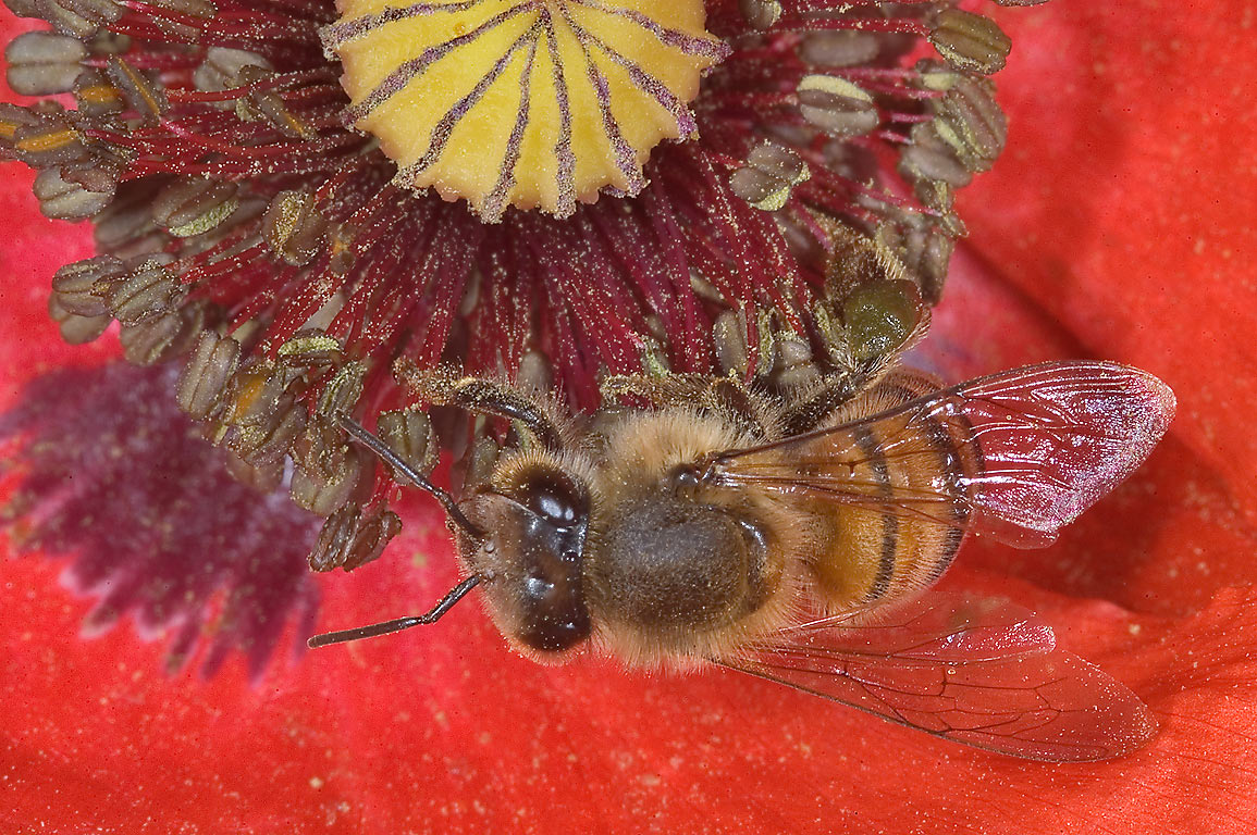 Bee on a red poppy in TAMU Holistic Garden in...M University. College Station, Texas