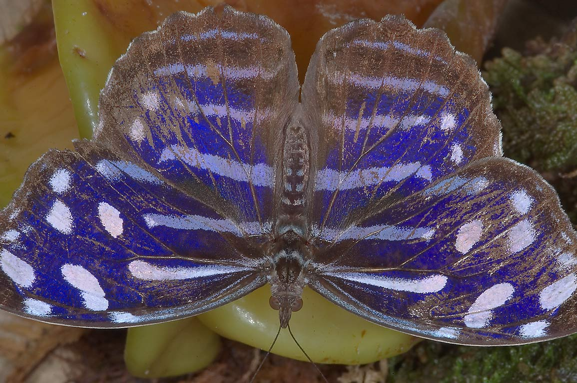 Blue Wave Butterfly (Myscelia cyaniris) with...of Natural Science. Houston, Texas