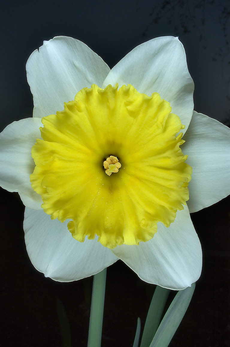 Daffodil (narcissus) with yellow corona and white...M University. College Station, Texas