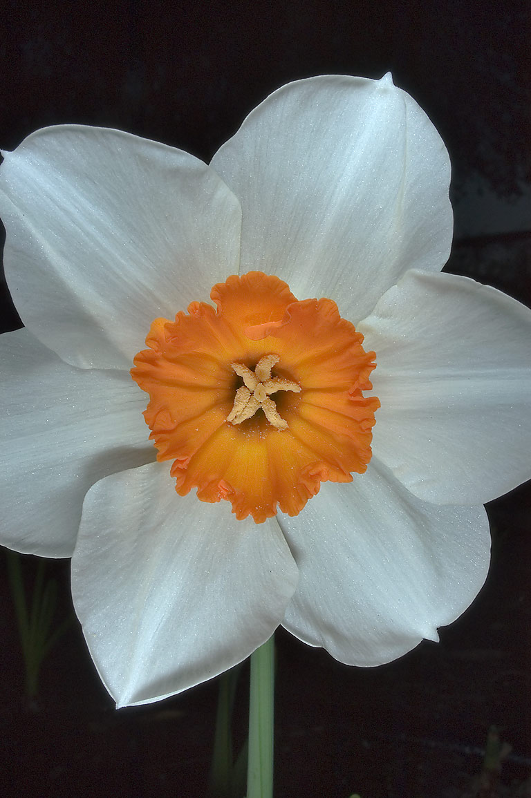 Daffodil (narcissus) with orange corona and white...M University. College Station, Texas