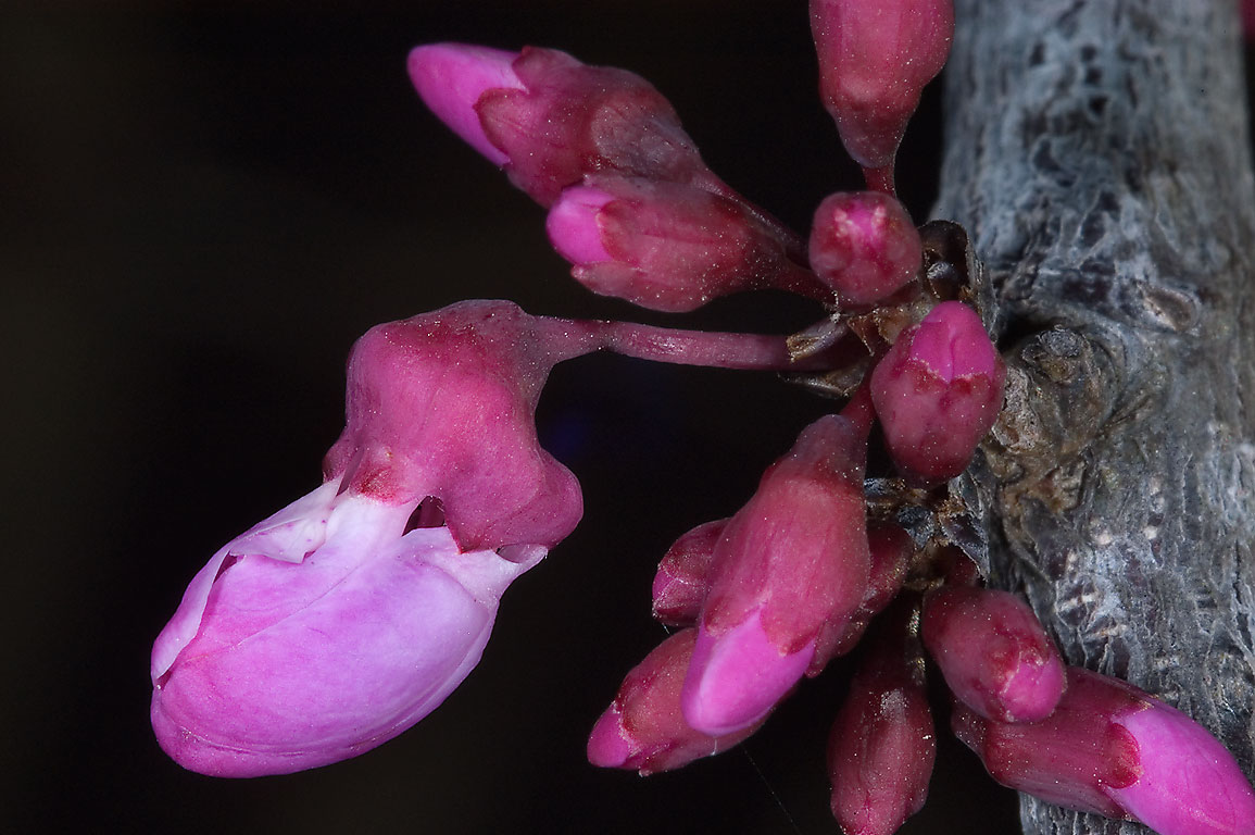 Magenta pink flower buds appearing from a stem of...M University. College Station, Texas